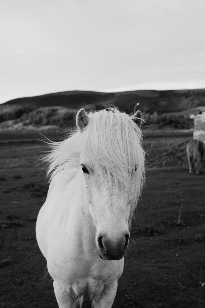 iceland-horses-black-and-white
