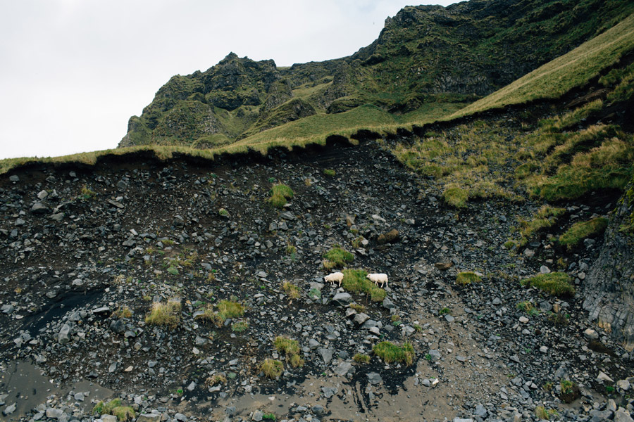 iceland black sand beach sheep