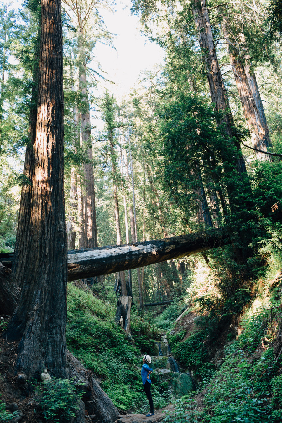 redwood trees photos