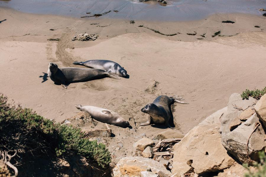 Elephant seals California