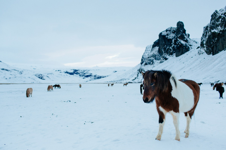 Icelandic horses photos